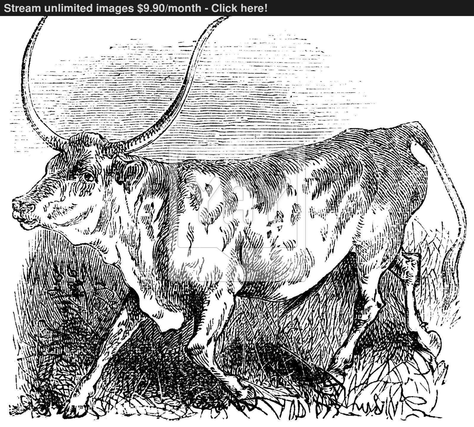 1600x1442 Brazilian, Cow, Vintage Engraving. Vector