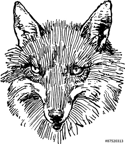 433x500 Fox Head Vintage Drawing Stock Photo And Royalty Free Images