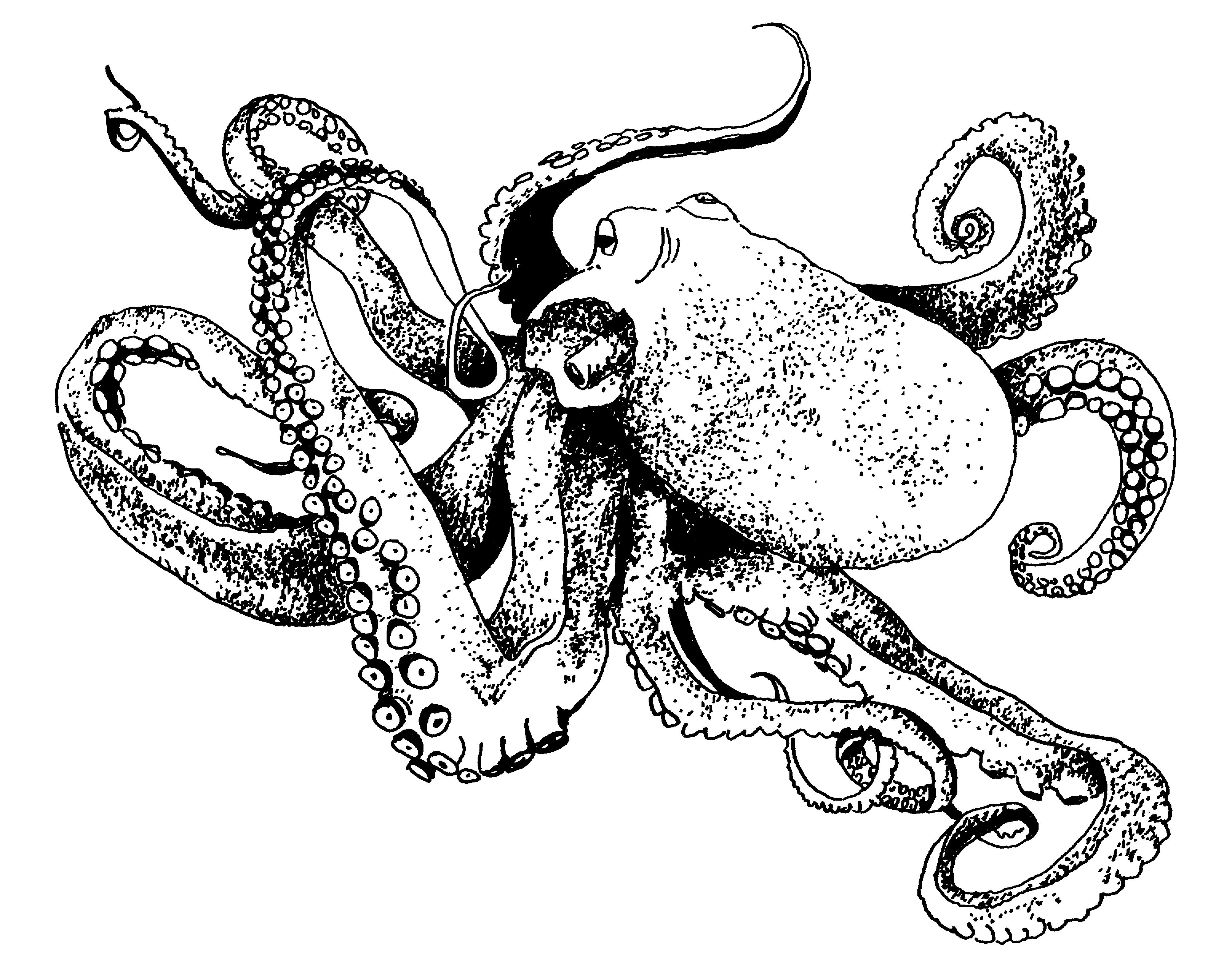 4006x3183 Drawing Of The Week Octopus Studioten15