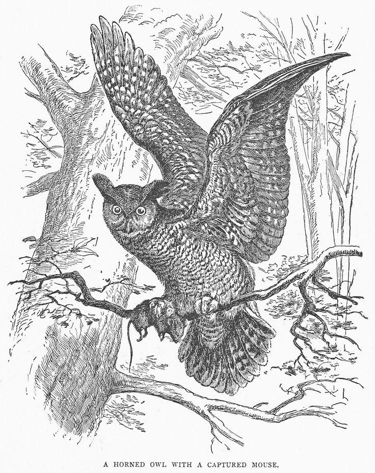 Vintage Owl Drawing