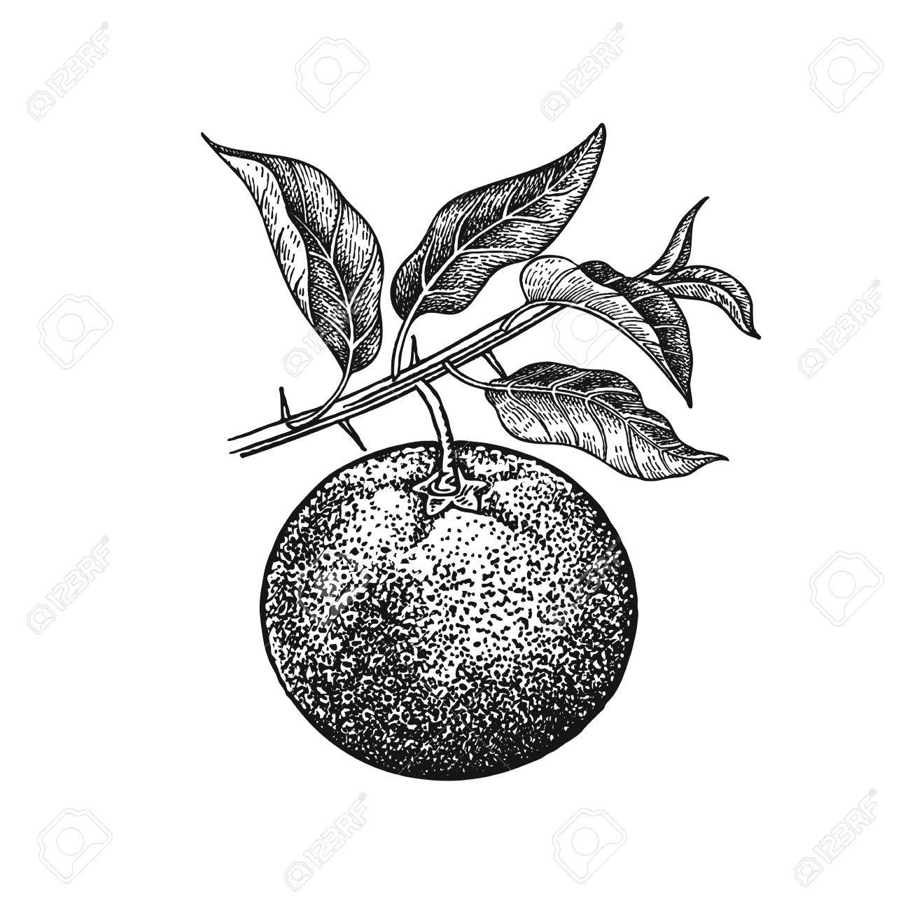 1300x1300 Mandarin. Realistic Vector Illustration Plant. Hand Drawing Fruit