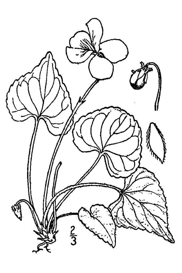600x900 Large Image For Viola Septentrionalis (Northern Woodland Violet