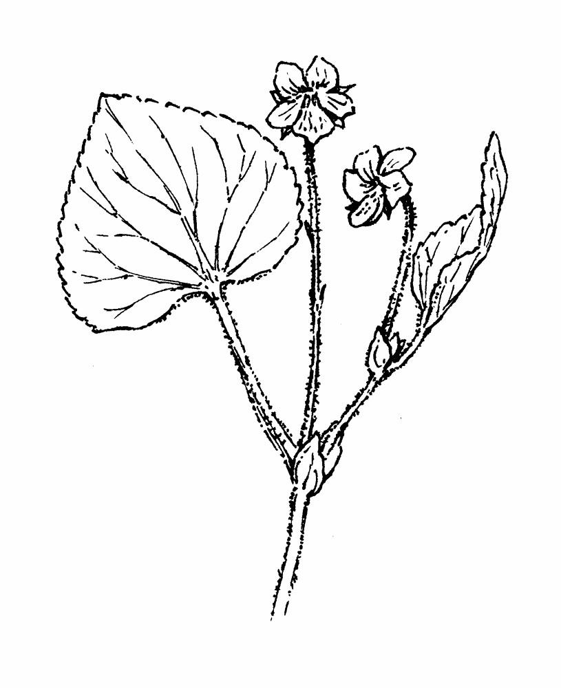 815x1000 Viola Coloring Pages