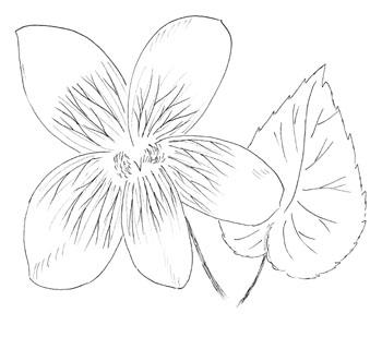 350x309 Viola Sororia Var. Priceana, Confederate Violet