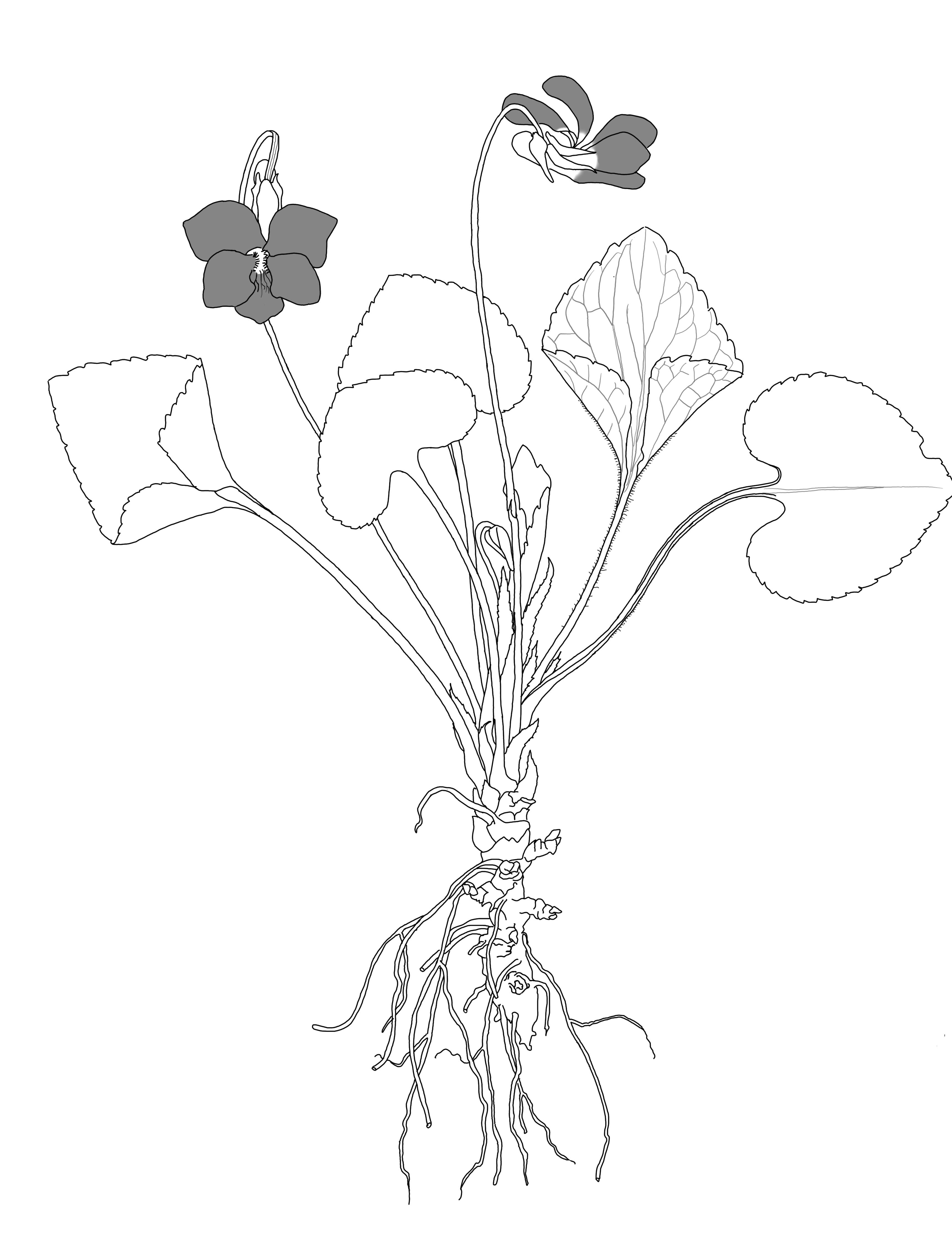 3441x4483 Viola Sororia Botanikim