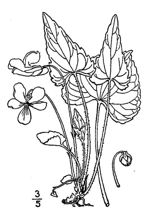 600x900 Large Image For Viola Novae Angliae (New England Blue Violet