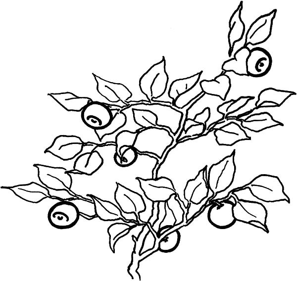 600x568 Full Of Vitamin Blueberry Bush Coloring Pages Best Place To Color