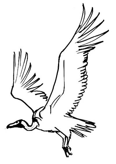 400x563 Flying Vulture Picture Drawing Guides Vulture