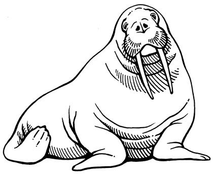 Walrus Drawing