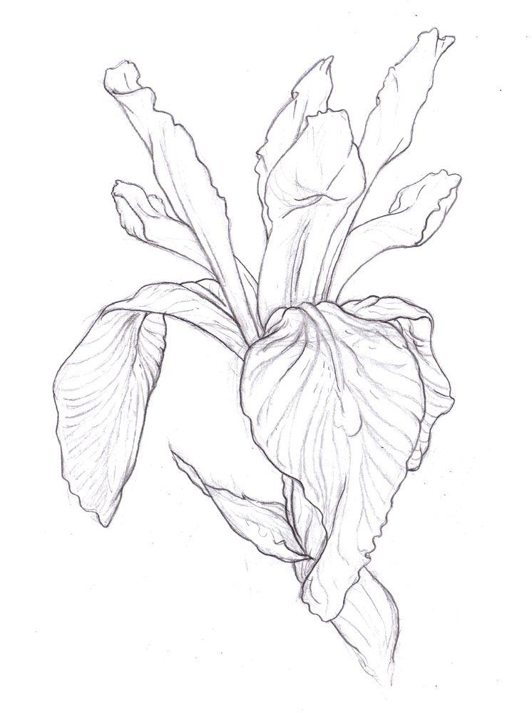 746x1000 Iris Drawing