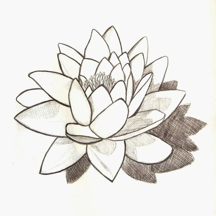 Water Lilly Drawing