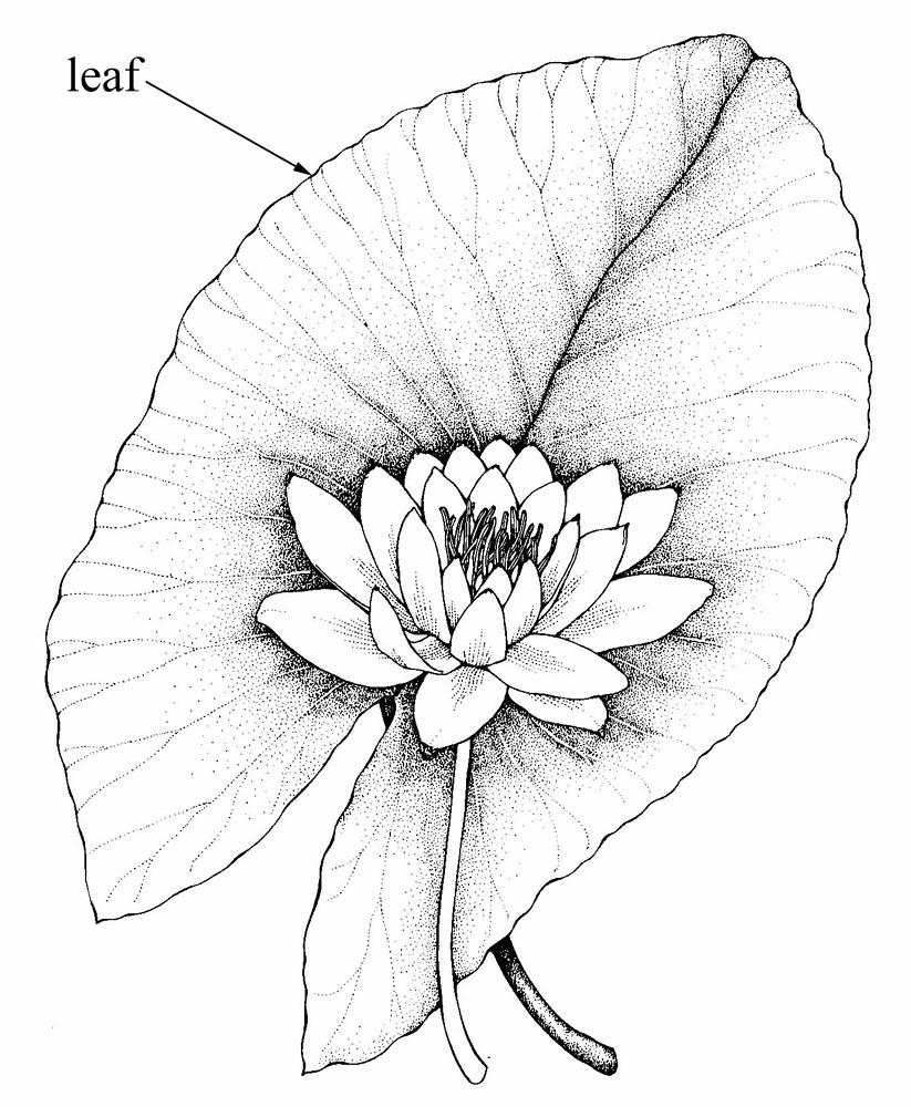 823x1000 Nymphaea Tuberosa (Tuberous Water Lily) Go Botany
