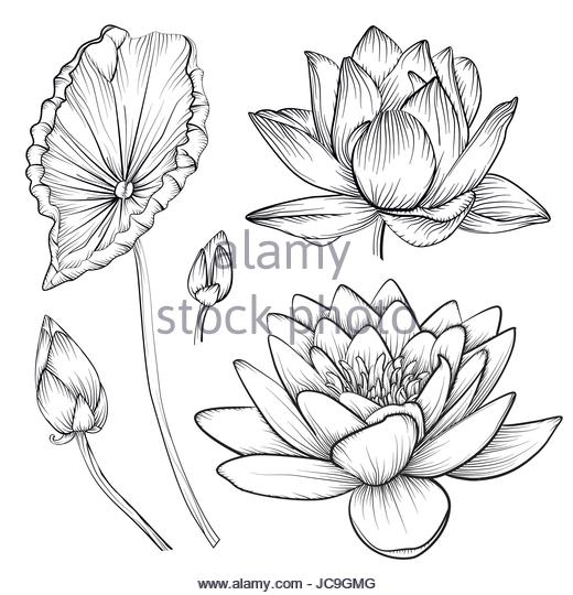 520x540 Water Lily Stock Vector Images