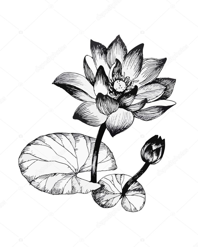 821x1023 Water Lily Flowers On Pond Black And White Illustration Stock