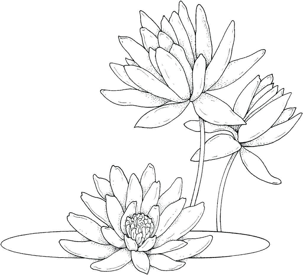 Water Lilly Drawing at GetDrawings.com | Free for personal use Water ...