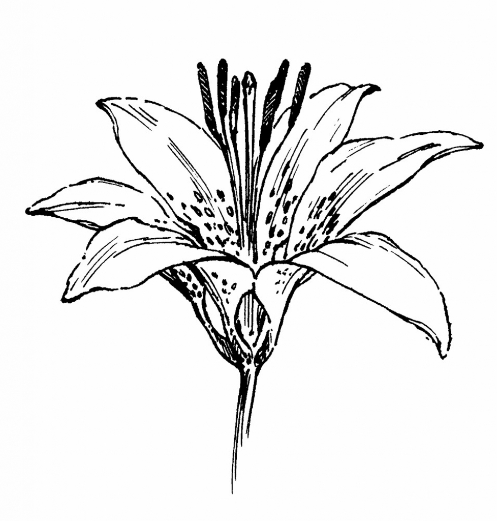 978x1024 Flower Drawing Lily Flower Drawing Lily