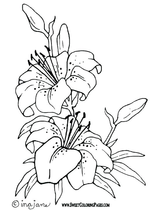 576x720 Lily Coloring Pages Plus Water Lily Pad Coloring Page Lily