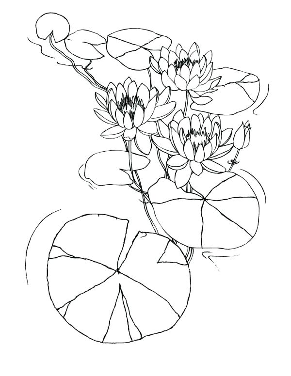 600x776 Lily Pad Coloring Pages Water Lily Flowers Among Lily Pad Coloring