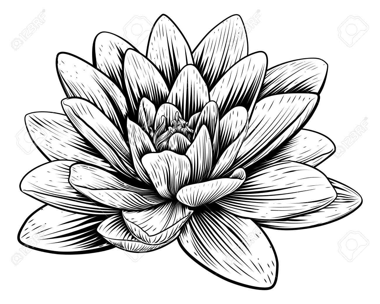 1300x1038 Antique Waterlily Images Amp Stock Pictures. Royalty Free Antique