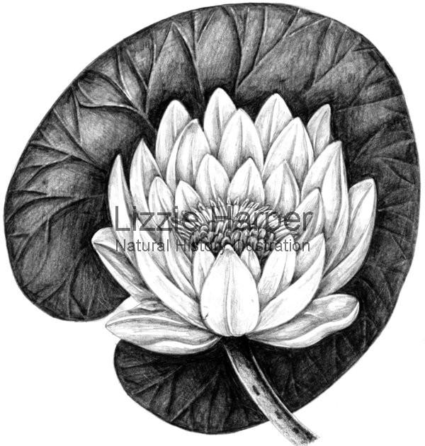 600x630 White Waterlily Lizzie Harper Illustration Botanical