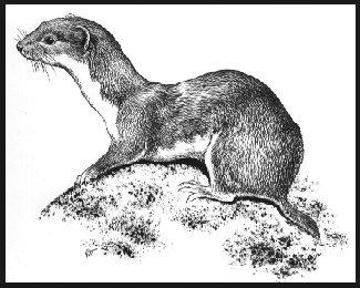 325x260 Slippery Weasel Society
