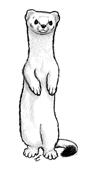 299x600 Weasel Sketch Art Of Ermine