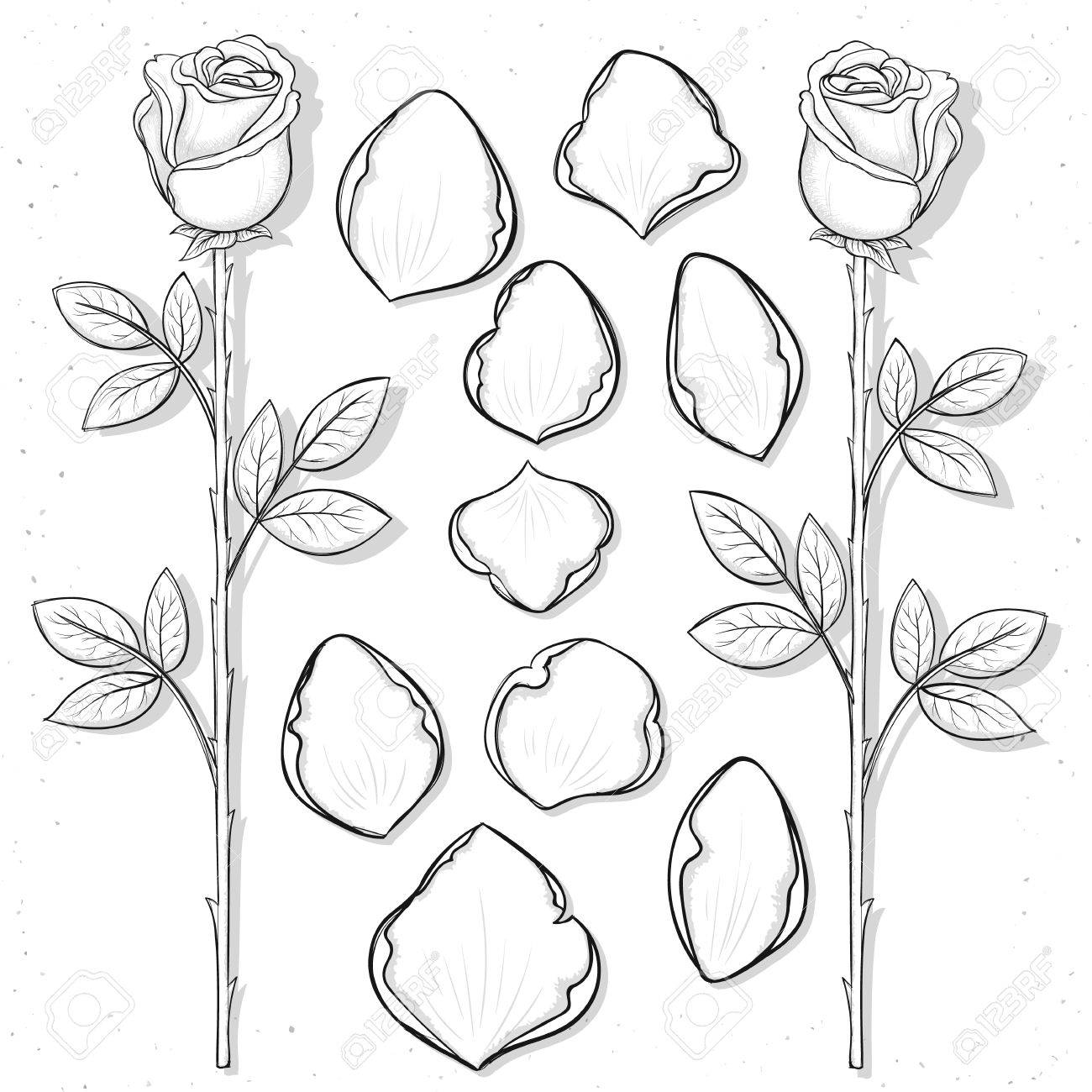 1300x1300 Isolated Rose And Petals Handmade In Sketch Style. Sketch