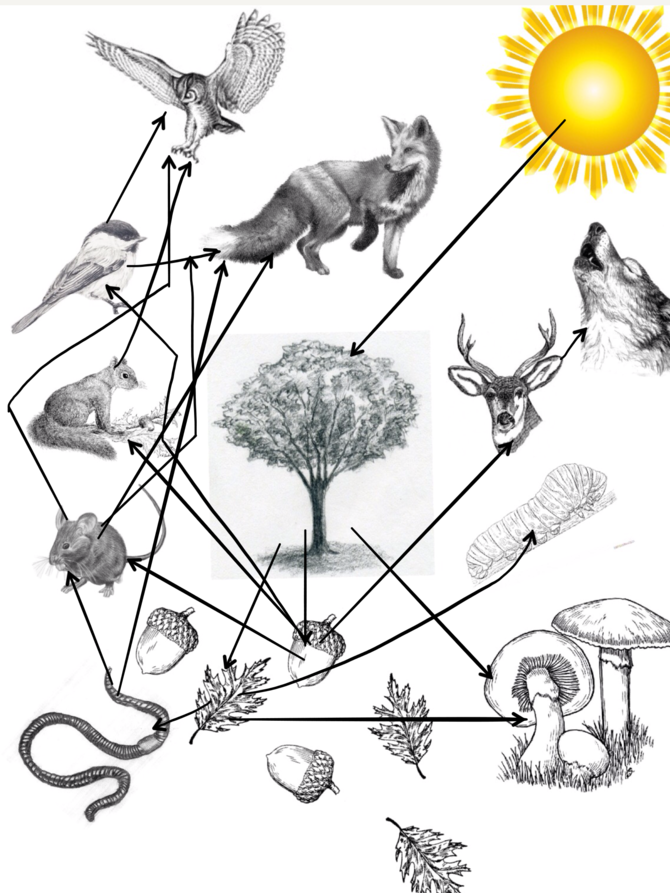670x893 How To Draw A Food Web 5 Steps (With Pictures)