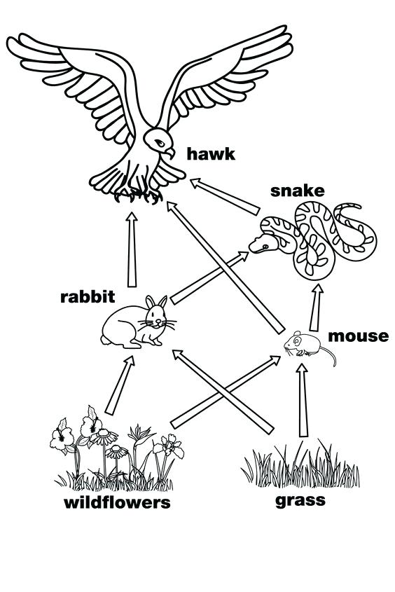564x845 Food Chain Coloring Page X X X A Next Image A Wallpaper Food Web