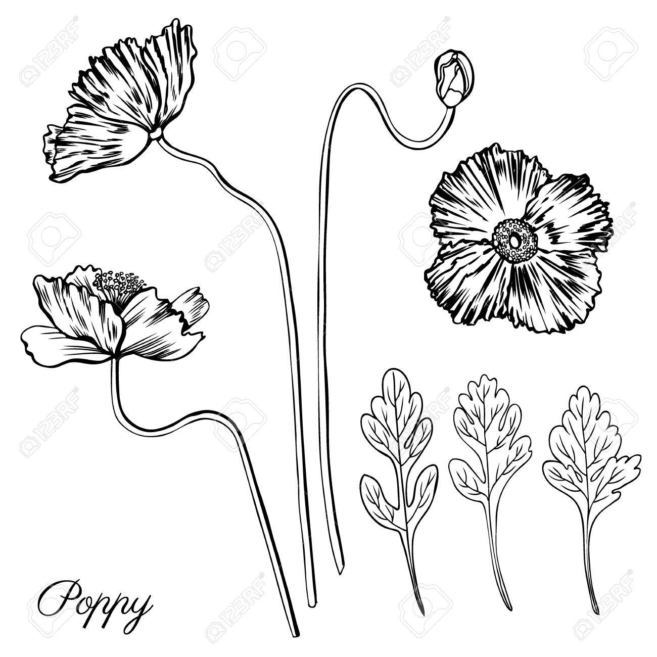 1300x1300 Poppy Flower, Bud, Leaves Vector Engraving Sketch Hand Drawn