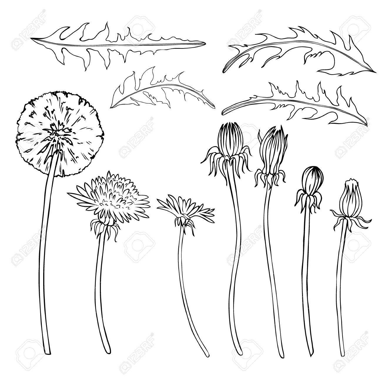 1300x1300 Dandelion Flower, Bud, Leaves Vector Engraving Botanical Sketch