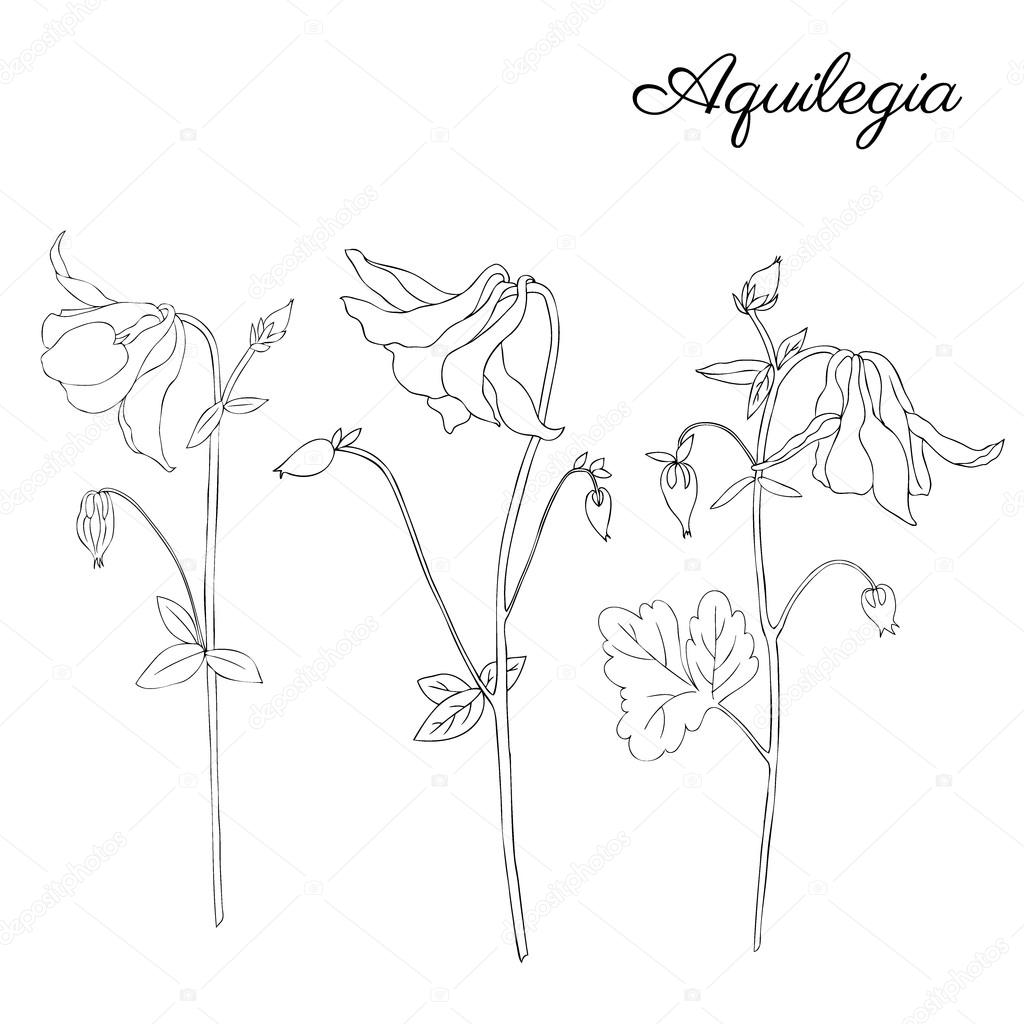 1024x1024 Aquilegia Flower Hand Drawn Graphic Vector Botanical Illustration