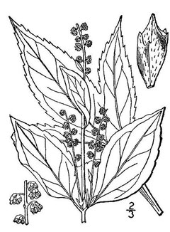 Weed Flower Drawing