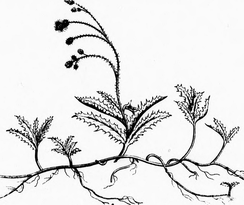 1024x860 Image From Page 129 Of Weeds, And How To Eradicate Them