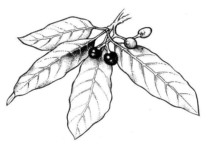658x471 Most Pernicious Of Weeds Indian Laurel, Litsea (Litsea Glutinosa