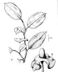 200x252 Botanical Line Drawing
