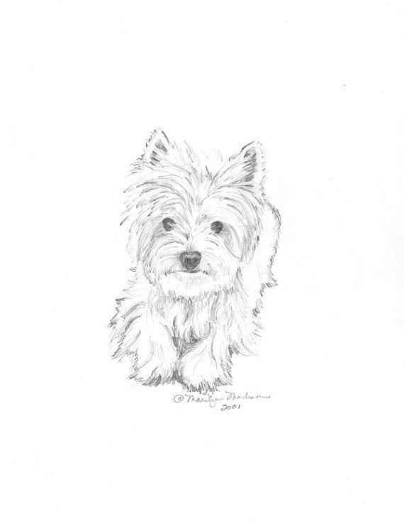 570x741 Casey Print Of Pencil Drawing Westie 8x10 Artist And Drawings