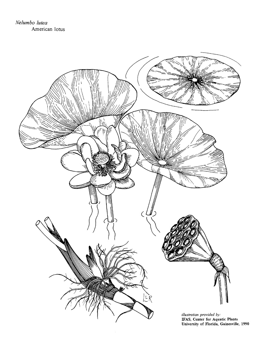 900x1160 A Library (Library!) Of Line Drawings Of Aquatic, Wetland