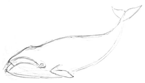 500x286 How To Draw A Bowhead Whale