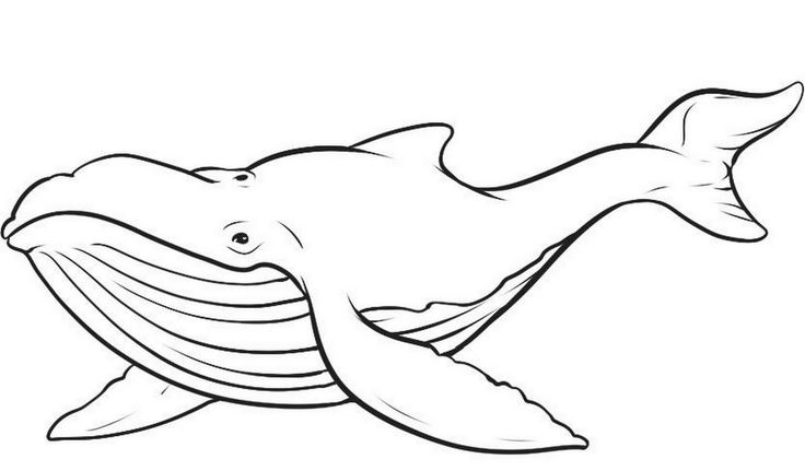 736x431 blue whale coloring pages img 456622 - Whale Outline