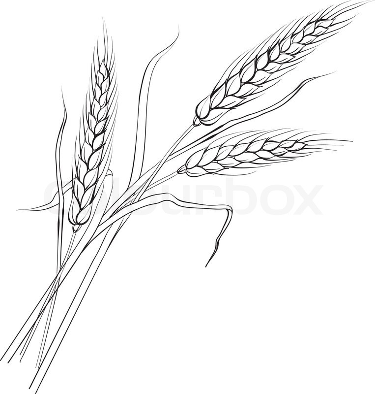 763x800 Ears Of Wheat. Iloated Over White. Vector Illustration. Stock