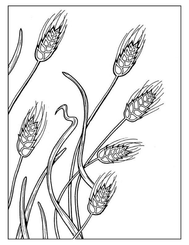 wheat coloring pages - Roho.4senses.co