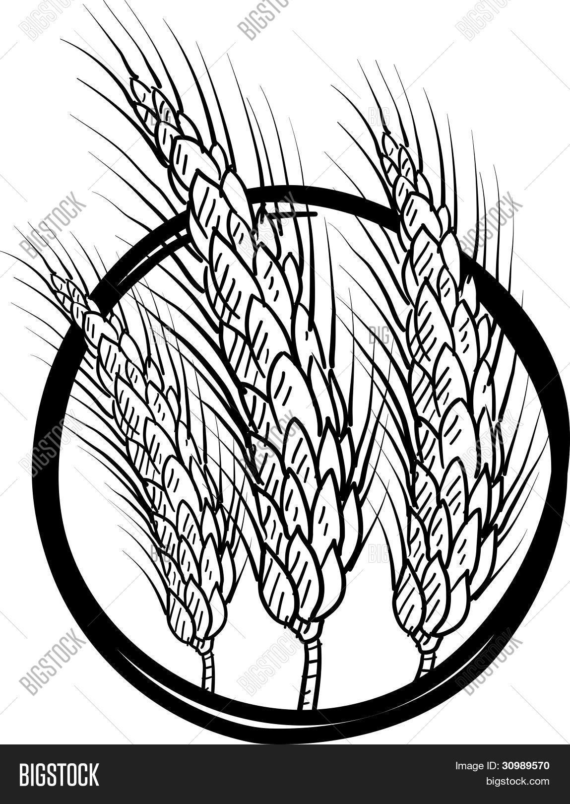 1149x1620 Wheat Grain Sketch Vector Amp Photo Bigstock