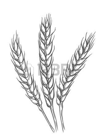 338x450 Yellow Wheat Bread Ears Cereal Crop Sketch Hand Drawn Vector