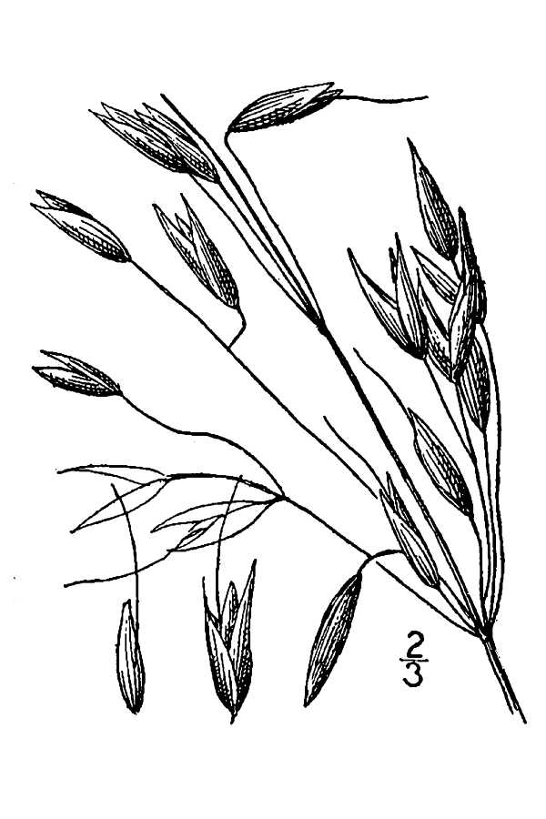 600x900 Drawn Wheat Oat Plant