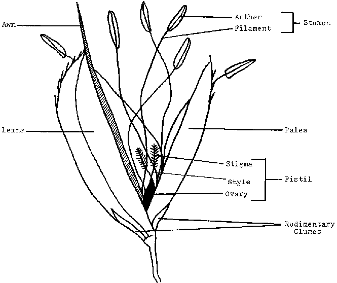Wheat plant drawing at getdrawings free for personal use wheat 665x558 rice production ccuart Gallery