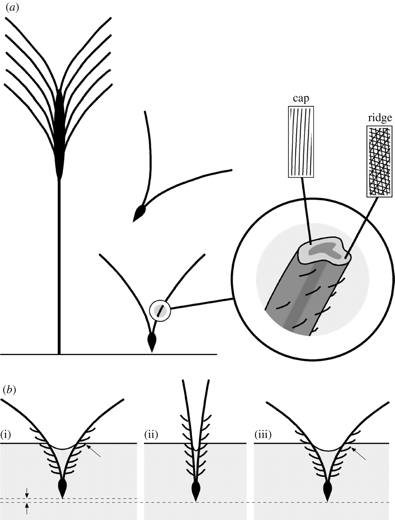 Wheat plant drawing at getdrawings free for personal use wheat 1366x1800 actuation systems in plants as prototypes for bioinspired devices ccuart Gallery