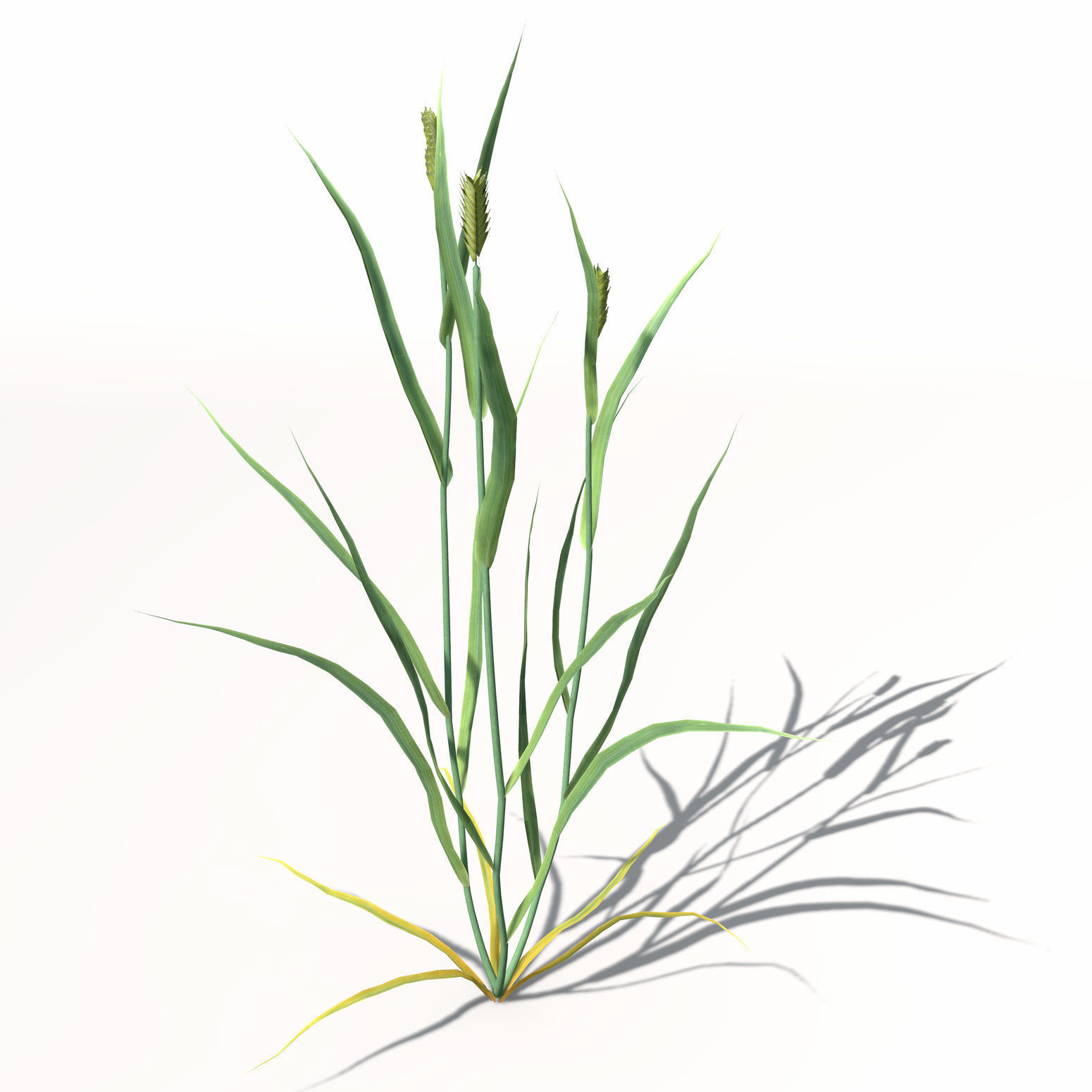 1550x1550 Xfrogplants Wheat 3d Model Cgtrader