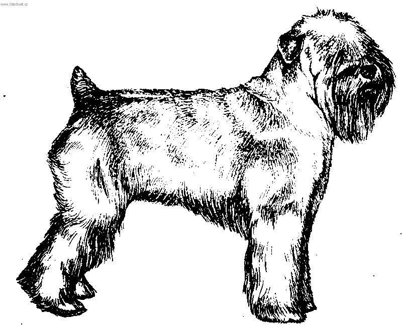 800x650 Irish Soft Coated Wheaten Terrier (Dog Standard) (Pictures, Images)