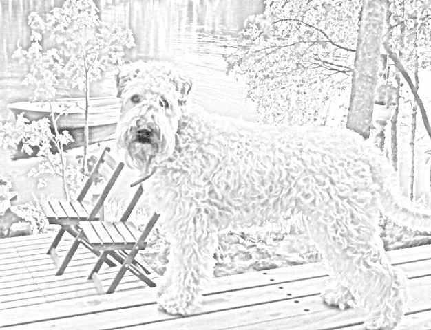 626x480 The Irish Soft Coated Wheaten Terrier